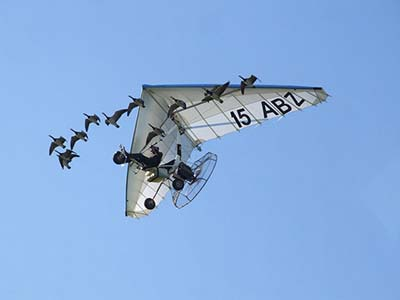 Microlight Flex-wing with geese © Lex Chatfield 2011