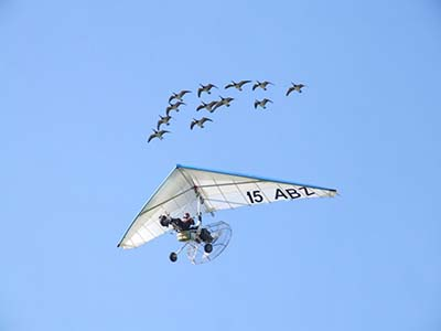 Microlights flying Flex-wing with geese formation © Les Chatfield 2011